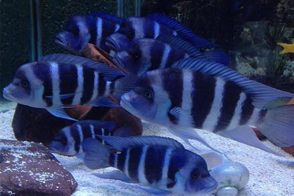 édesvízi-akvárium-afrikai-sügér